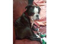 Gorgeous English Bulldog Girl. The last one