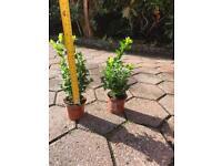 Box hedge plants - 18