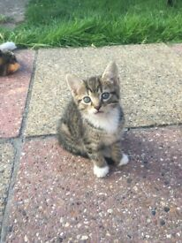 Two kittens for sale ready to go now