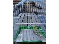 Baby budgies 6 months old with new cage