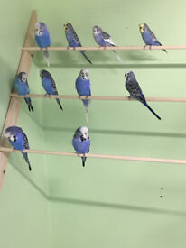 Violet budgies for sale