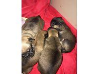 Beautiful chug puppies