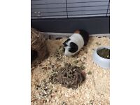 Lovely Boy Guinea Pig 10months old