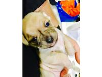 X pugs puggle puppy for sale in ealing