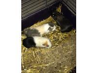 Guniea pigs