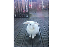 Brown Male & White Female Mini lops Rabbits + Pet carrier!! Open for offers too!!