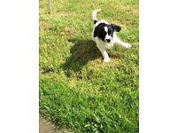 Springer Spaniel cross Patterdale puppy For sale