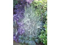 cytisus pale yellow broom perennial plant.