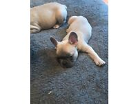 Kc french bulldog puppies blue lilac Fawn girls and boys ready now