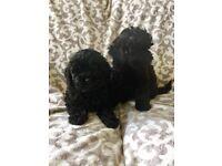 Black f1 cockapoo pups