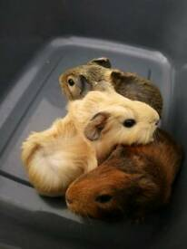 3 girl guinea pigs SOLD UFN