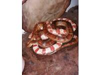 Pair of corn snakes for sale