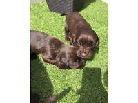 Beautiful cocker spaniel puppys