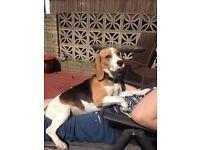 Beagle for loving home
