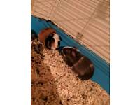 2 male guinea pigs 6 months old