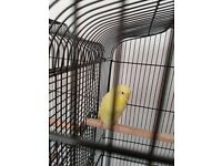 Wee yellow budgie for sale