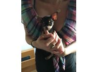 Gorgeous teacup micro chihuahua needing home