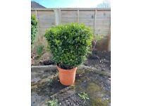 Common box hedge - garden plant