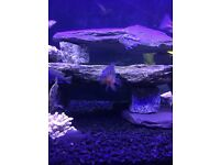 3 x fire mouth cichlids 2to3 inch