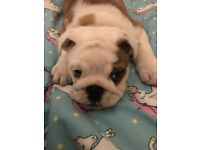 British/English Bulldog 9 Weeks Old *FEMALE*