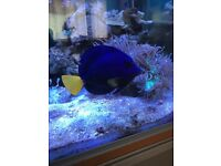 Marine fish Purple/Yellow tang/Emperor Angelfish