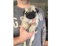 KC registered pug puppy 1 girl left
