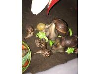 Giant African land snail sub adults