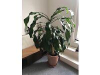 a beautiful dragon plant 5 foot tall