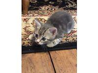 Adorable Little Kitten For Sale