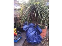 Beautiful Palm Tree. approx 2 mtrs tall.. £300 new. Can deliver.. Flowering and established