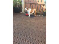 Bulldog puppy's