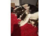 Stunning border collie pups