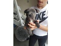 Blue staffy puppies KC Registered