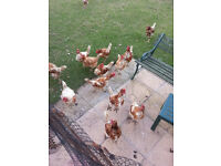 chickens for sale free to a good home (up to 30)