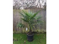 Price reduced. Spectacular Trachycarpus Fortunei Palm Tree in a lovely large Pot