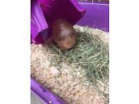 Guinea pig full set up 1 year old female