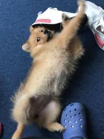Pomeranian girl 3 mounts old for sale