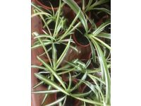 Baby Spider Plants Free To Good Home,Larger Ones £2 , Ideal Xmas Present ,Very Healthy ,Home Grown