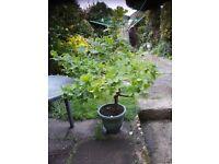 Oak tree in a pot