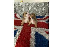1 boy left kc reg red and white English bulldogs puppies