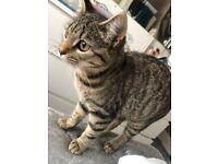 Tabby kitten - SOLD
