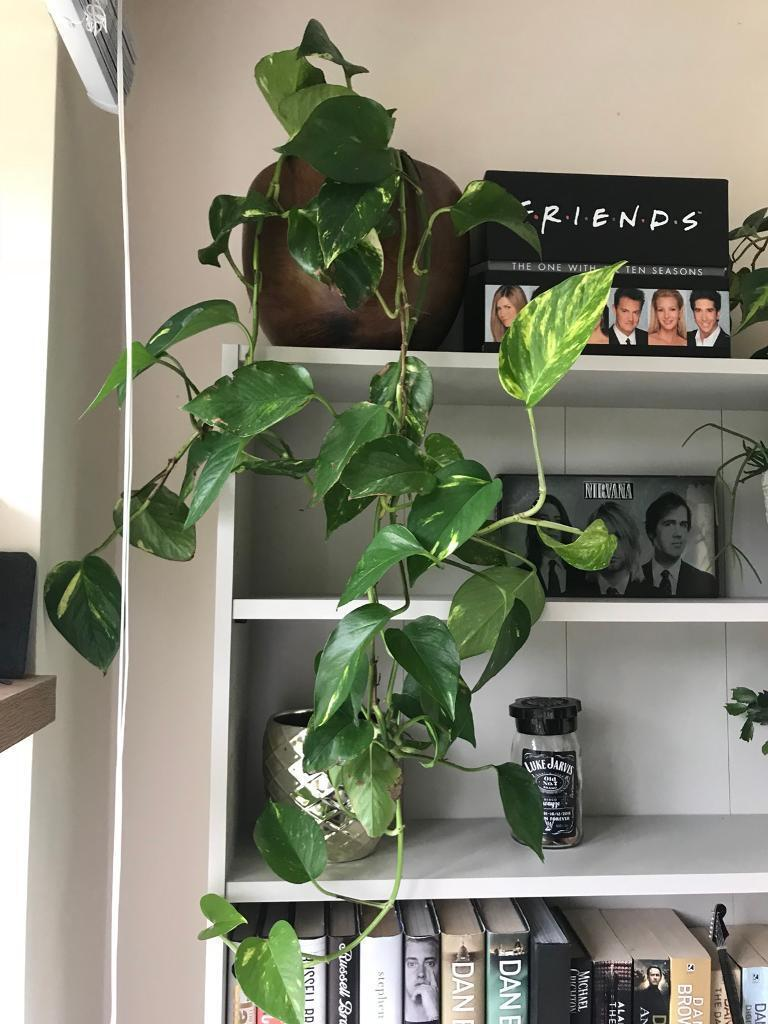 Houseplants for sale! | in Eye, Suffolk | Gumtree on peppermint tree plant, cycad plant, reed plant, foxfire plant, gazania plant, no light indoor plant, lotus plant, google plant, hickory plant, garland plant, amazon plant, miracle fruit plant, king plant, arcadia plant, violet flower plant, eagle plant, yucca plant, ebay plant, mulberry plant, fig plant,