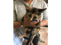 Muti coloured female kitten