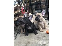 8 French bulldogs pups