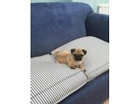 Pug puppies can leave ASAP