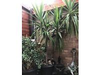 Yucca plant 25years old