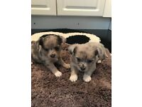 Grey Merle Chihuahua cross Jack Russell Puppy