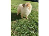 Beautiful Purebred Cream FCI & KC Pomeranian Girl