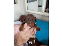 Dachunds for sale 2 girls 1 boy all choclate and tan will be vet checked wormed and mi ready 5 weeks