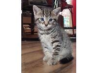 Adorable tabby kitten for sale in Gravesend
